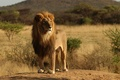 Picture animals, trees, nature, tree, Leo, wild cats, Africa, lions