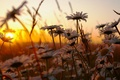 Picture grass, sunset, flowers, nature, chamomile