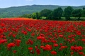 Picture flowers, mountains, trees, field, meadow, Maki, hills, grass