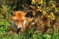 Picture look, Fox, Fox, red, summer, grass, face