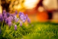 Picture bokeh, grass, flowers, sunset