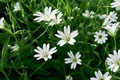 Picture grass, flowers, meadow, white