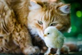 Picture cat, cat, the situation, chick, chicken