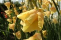 Picture flower, yellow, gladiolus