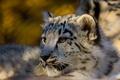 Picture Leopard, predator, IRBIS, snow leopard, snow leopard