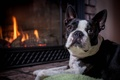 Picture dog, Boston Terrier, face, look, fireplace