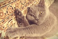 Picture British, play, grey, kitty, cat