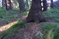 Picture forest, summer, Cedar, cedar paw