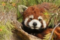 Picture needles, branches, tree, red Panda, red Panda