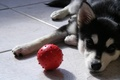Picture dog, the ball, look, the ball, puppy, husky, dog