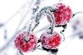 Picture cherry, snow, winter