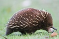 Picture animal, Australian echidna, mammal