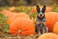 Picture field, look, dog, pumpkin, orange