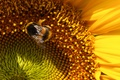Picture Sunflower, bee, shadow
