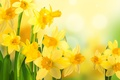 Picture flowers, daffodils, spring, nature