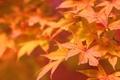 Picture macro, autumn, nature, leaves