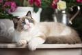 Picture Ragdoll, blue eyes, look, cat