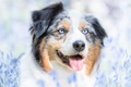 Picture flowers, dog, spring, Wallpaper from lolita777, Aussie