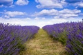 Picture field, good weather, lavender, purple flowers