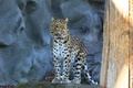 Picture leopard, spotted cat, amur leopard, predator, look