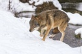 Picture snow, wolf, runs, ©Tambako The Jaguar