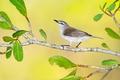 Picture bird, Gerygone levigaster, Australia, branch