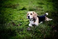 Picture each, dog, Beagle