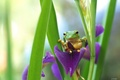 Picture frog, green, iris