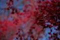 Picture red, blur, bokeh, Tree, fruit, blue
