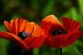 Picture macro, nature, plant, Maki, petals