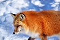 Picture animal, muzzle, Fox, snow, red, Fox