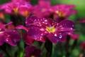 Picture Rosa, flowerbed, petals, flowers, drops