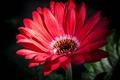 Picture gerbera, petals, macro