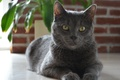 Picture eyes, look, grey, Russian blue, Carol