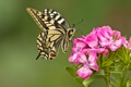 Picture flower, macro, butterfly, carnation, swallowtail