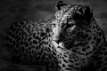 Picture face, leopard, black and white Wallpaper