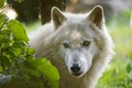 Picture look, wolf, Arctic wolf, face