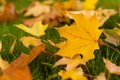 Picture leaves, widescreen, leaf, leaves, HD wallpapers, Wallpaper, leaf, leaves, full screen, yellow leaves, background, fullscreen, ...