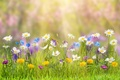 Picture flowers, summer, nature, grass, bokeh, chamomile, dandelions, the rays of the sun, glare, buttercups, cornflowers