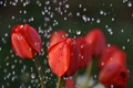 Picture flowers, macro, nature, red, rain, tulips, water, buds, drops