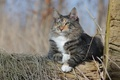 Picture cat, Norwegian forest cat, cat