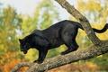 Picture tree, black Jaguar, Panther