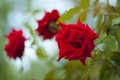 Picture flowers, red, roses, flower, rose, leaves, three, petals, green, buds