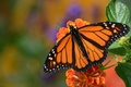 Picture butterfly, macro, monarch, The monarch, flower