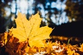 Picture macro, sheet, nature, maple, maple, leaves, bokeh, dry, yellow, fallen, autumn