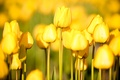 Picture flowers, nature, garden, garden flowers, free pictures, tulips, tulips, photos