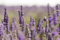 Picture bokeh, stems, lavender field, lavender