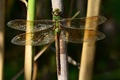 Picture macro, stems, wings, dragonfly, insect, green, Wallpaper from lolita777