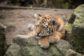 Picture cat, tiger, tiger, Amur, stay, kitty, stone