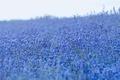 Picture lavender, lavender field, flowers